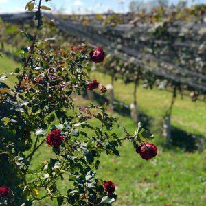 Wine-Tour-16-11-Colonia-Caroya-Terra-Camiare-Viñedo